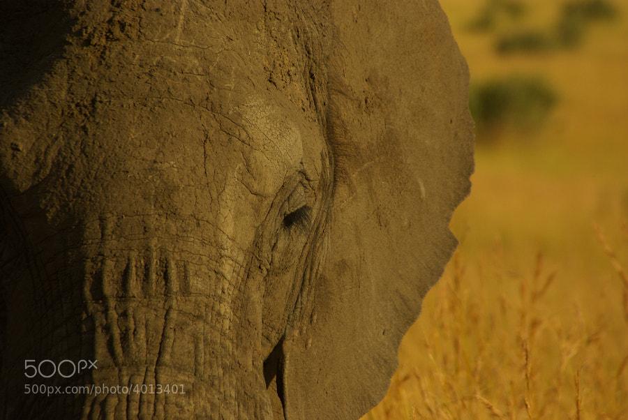 African Elephant on the Masai Mara, Kenya, 2009