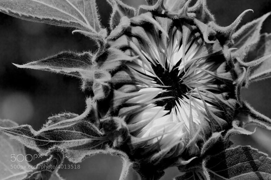 Photograph Sunflower by Benno Pütz on 500px