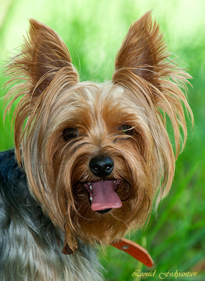 Photograph Yorkie's Portrait by Leonid Fedyantsev on 500px