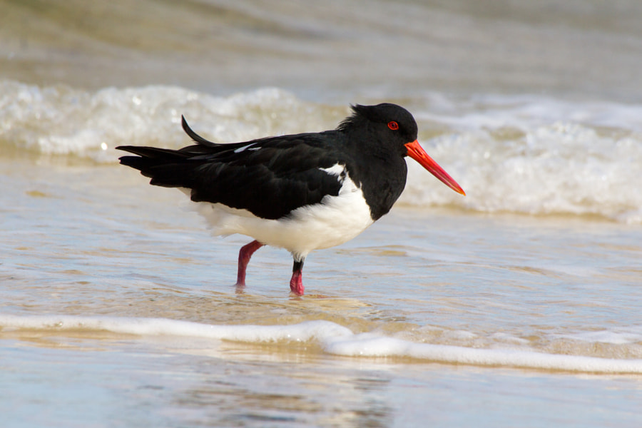Pied Oystercatcher in the surf - Moreton Island - Australia  The diet of coastal Pied Oystercatchers (haematopus longirostris) is varied, although dependent upon coast type; on estuaries bivalves, gastropods and polychaete worms are the most important part of the diet, whereas rocky shore oystercatchers prey upon limpets, mussels, gastropods, and chitons. Other prey items include echinoderms, fish, and crabs.