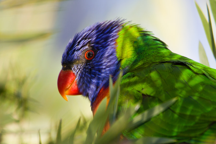 Rainbow Lorikeet in partial shadow - Brisbane - Australia  The Rainbow Lorikeet, (Trichoglossus haematodus) is a species of Australasian parrot found in Australia, eastern Indonesia (Maluku and Western New Guinea), Papua New Guinea, New Caledonia, Solomon Islands and Vanuatu. In Australia, it is common along the eastern seaboard, from Queensland to South Australia and northwest Tasmania. Its habitat is rainforest, coastal bush and woodland areas.