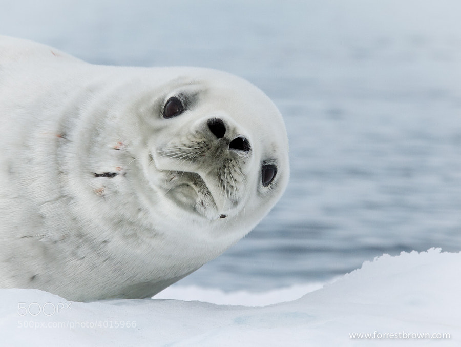 Photograph Crabeater Seal by Forrest Brown on 500px