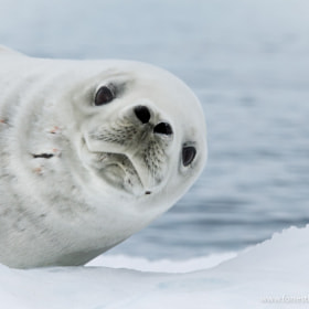Crabeater Seal by Forrest Brown (forrestbrown)) on 500px.com