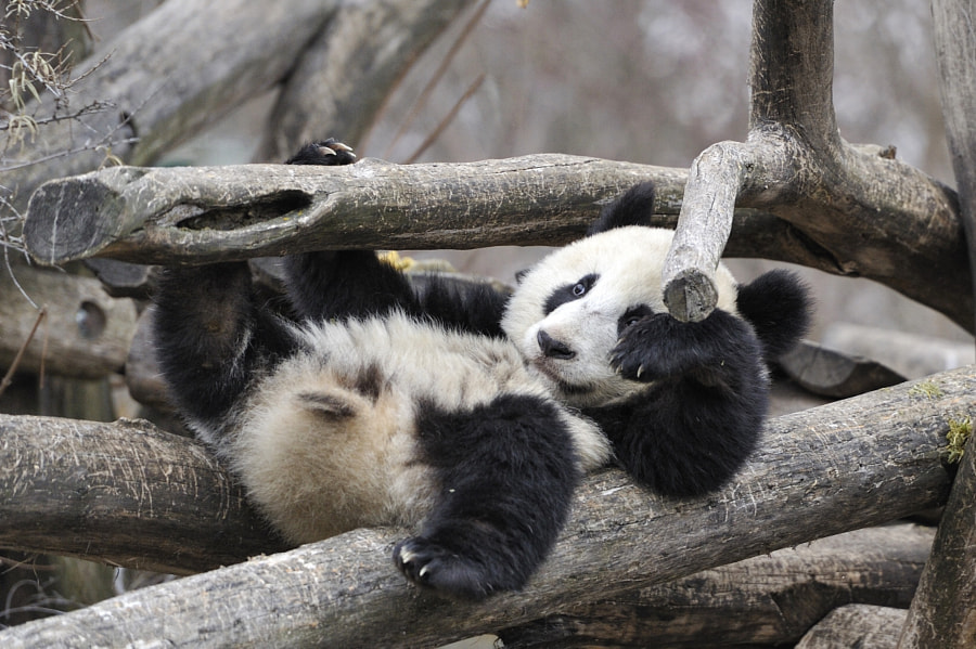 Photograph Trapped young Giant Panda by Josef Gelernter on 500px