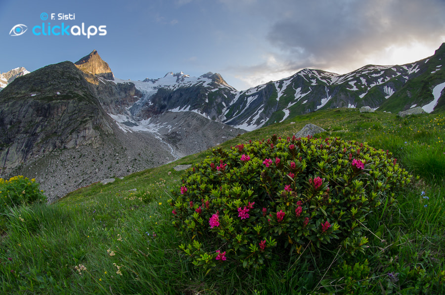 Photograph Albeggia tra i rododendri - Rhododendron ferrugineum (Val Ferret, Valle d'Aosta - Vallée d'Aoste) by Francesco Sisti on 500px