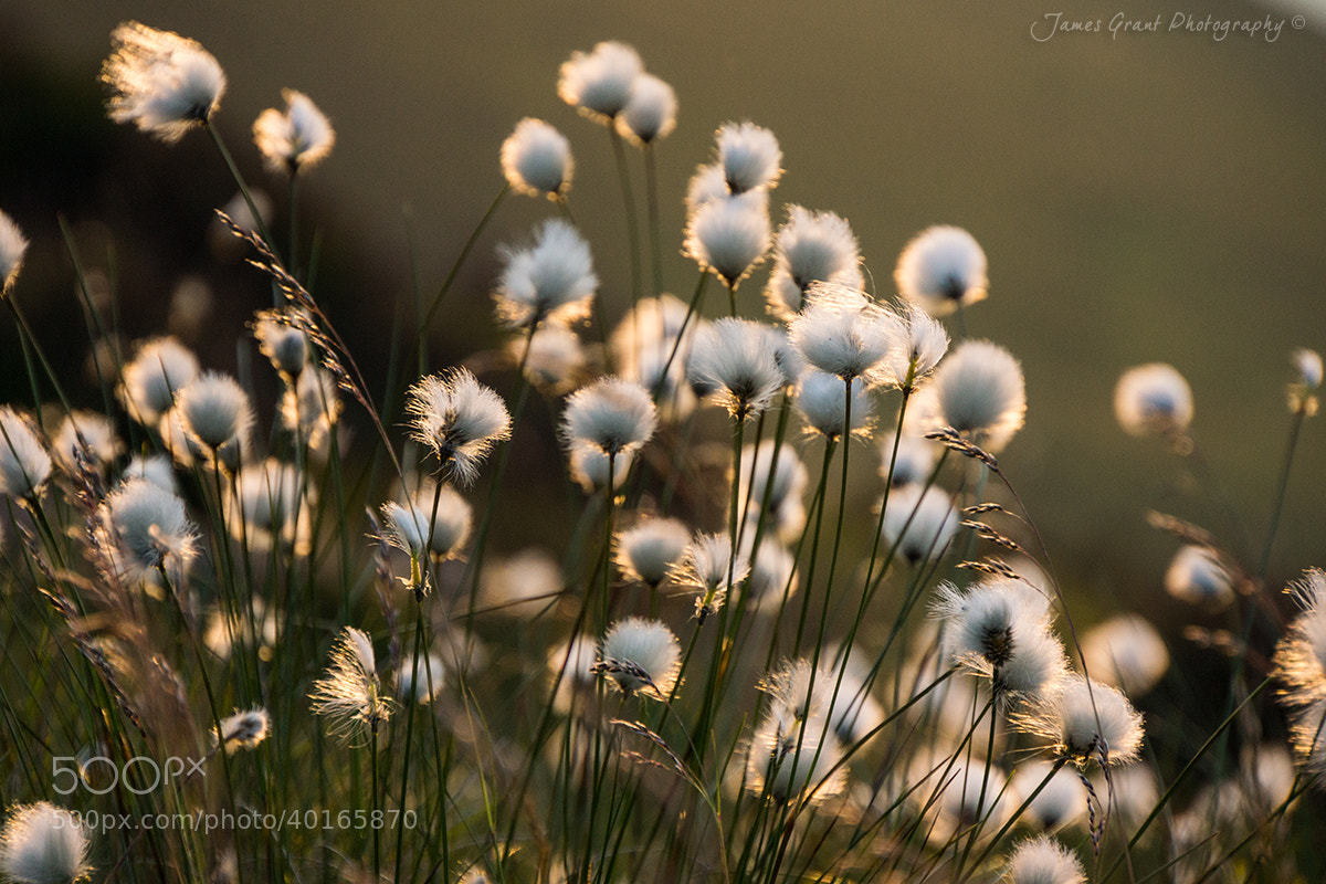 Photograph Cotton Grass by James Grant on 500px