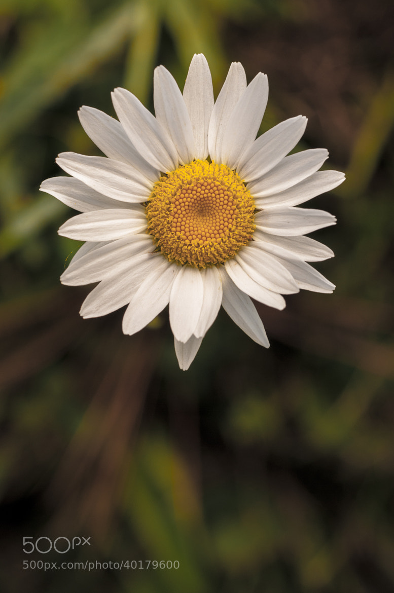 Photograph Daisy by Frozen Canuck on 500px