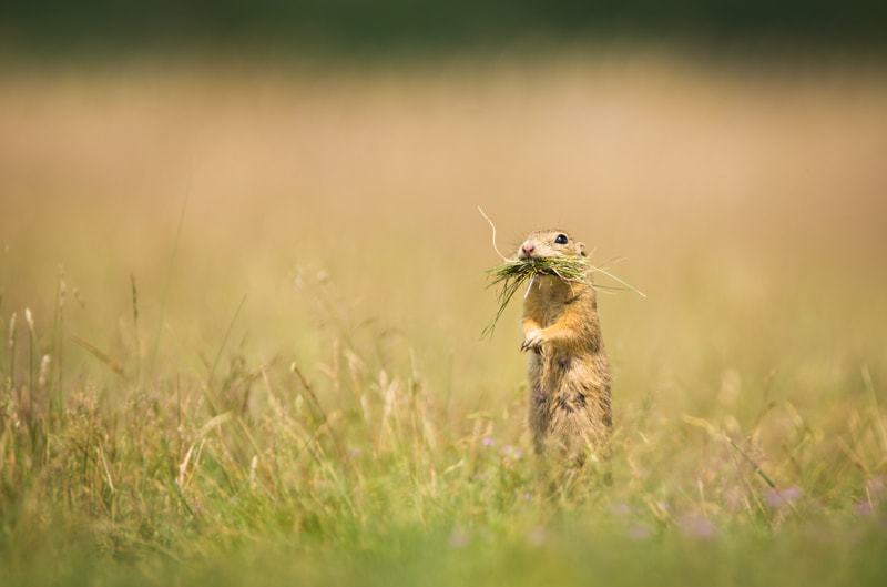 Photograph On guard, on duty (Spermophilus citellus)(Spermophilus citellus) by Ales Gola on 500px