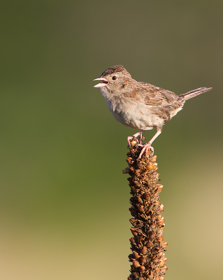 Photograph Brewer's Sparrow by Kurt Bowman on 500px