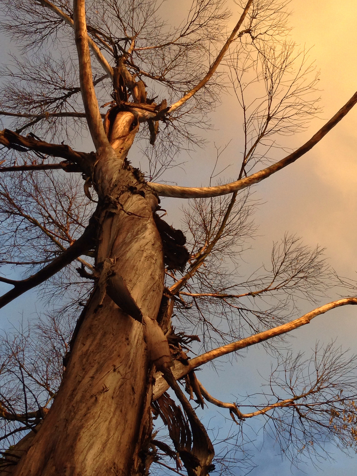 Photograph Old tree under blue n yellow sky by Robert Contreras on 500px