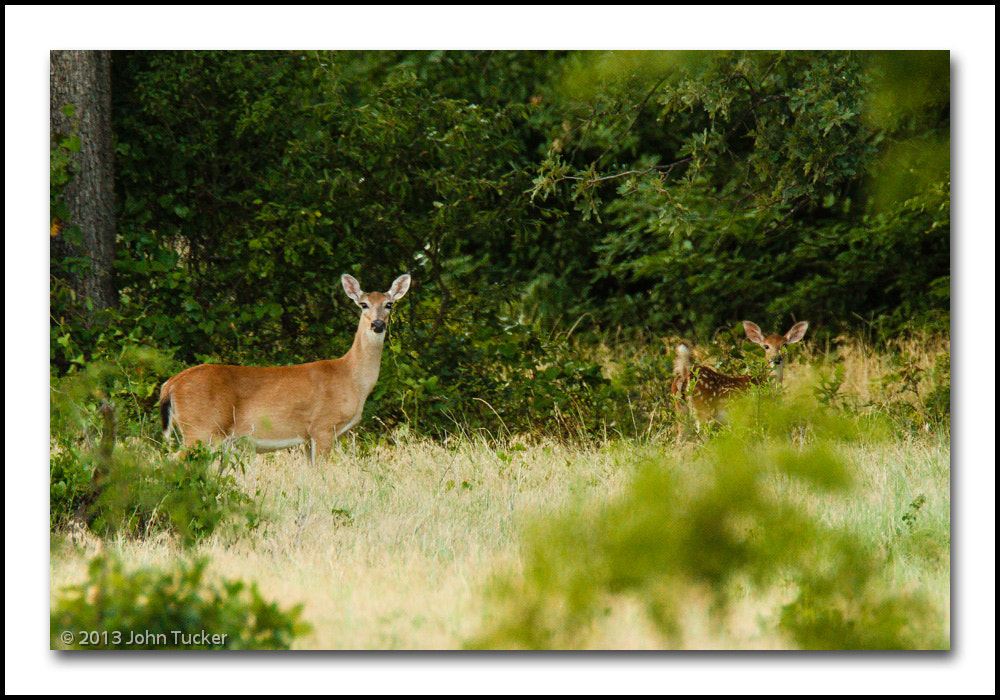 Photograph White-tailed Deer by John Tucker on 500px