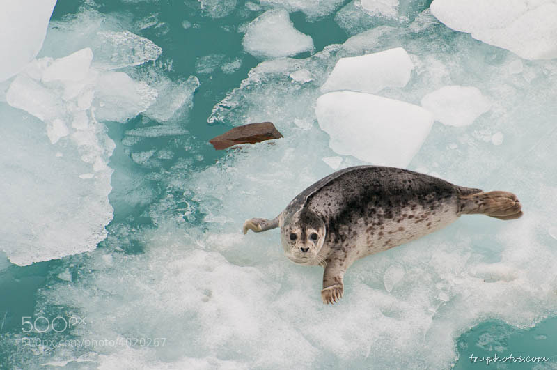 Photograph Seal on iceberg by Weizhong Deng on 500px