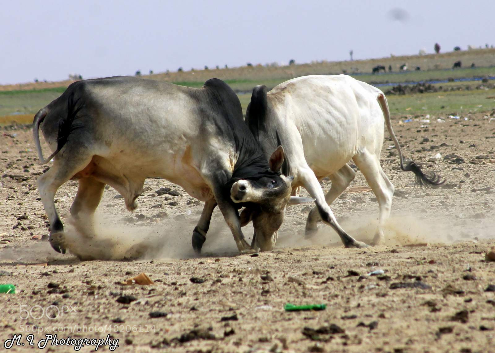 Photograph cows fight by Mohamed Ismael on 500px