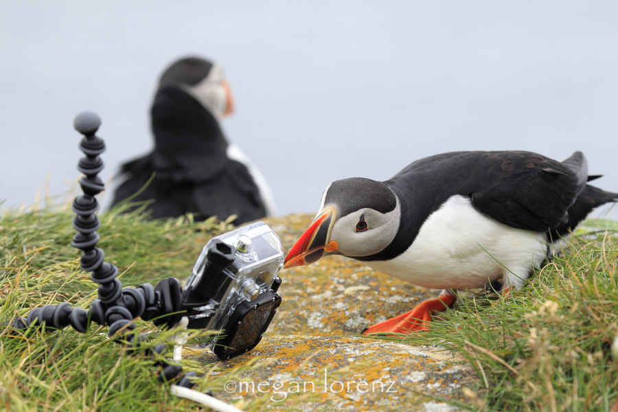 Hero Down.  Puffin To The Rescue. by Megan Lorenz on 500px.com