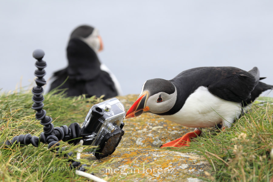 Photograph Hero Down.  Puffin To The Rescue. by Megan Lorenz on 500px