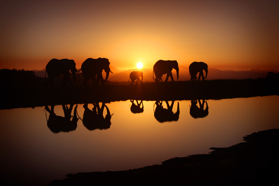 Elephants in Sunrise by Alex Laurs on 500px.com