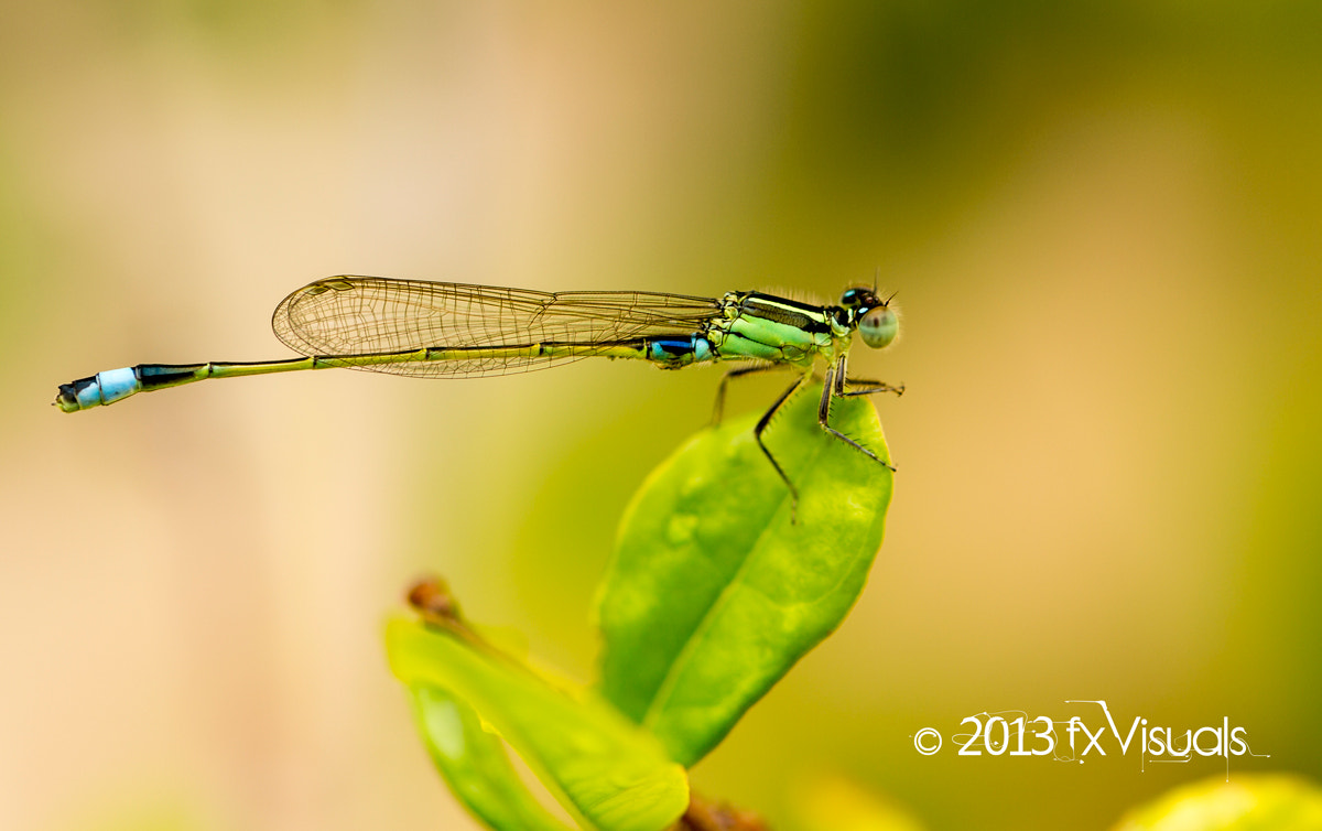 Photograph Ischnura senegalensis (Common Bluetail Damselfly) by Dilip Singh on 500px