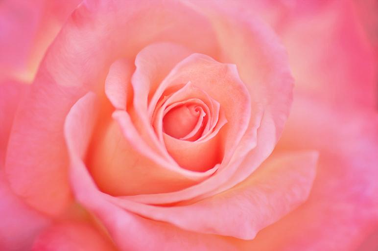 Rose by Mirka Wolfova on 500px.com