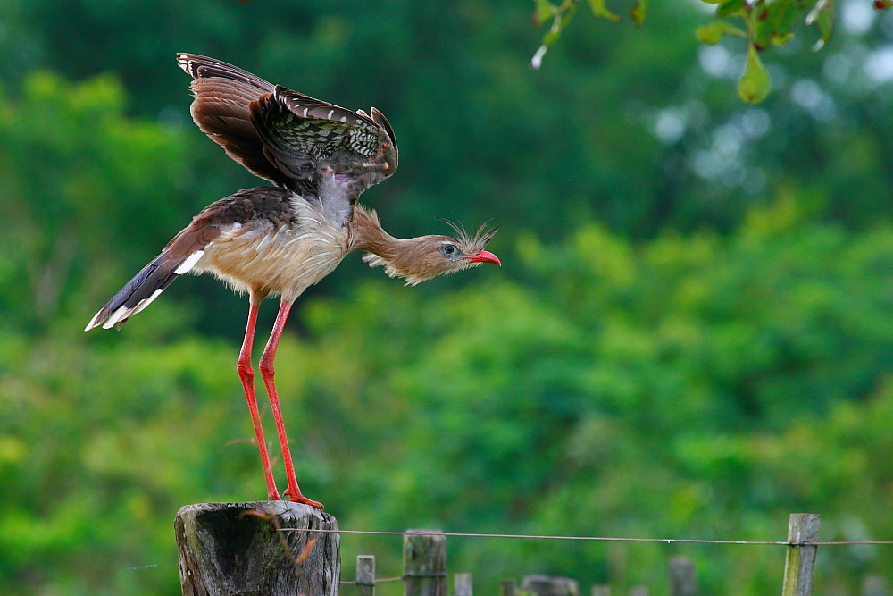 Photograph Red-legged Seriema by Demis Bucci on 500px