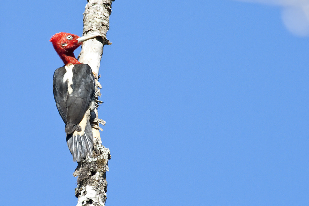 Photograph Robust Woodpecker by Demis Bucci on 500px