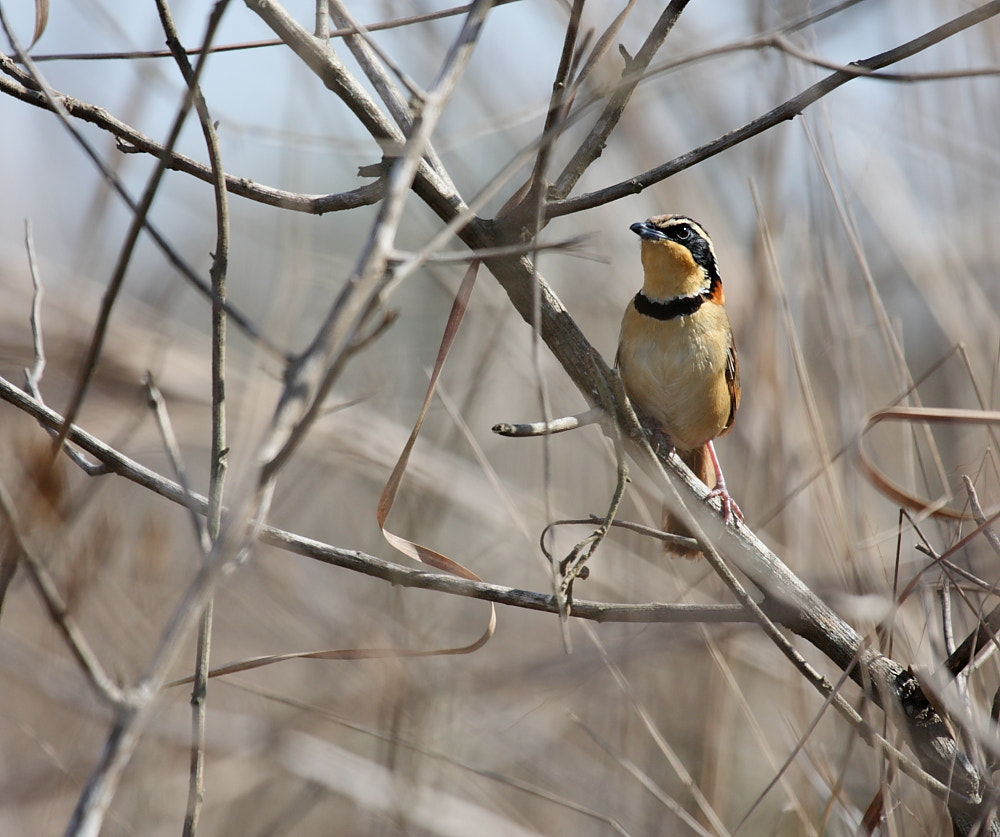 Photograph Collared Crescentchest by Demis Bucci on 500px
