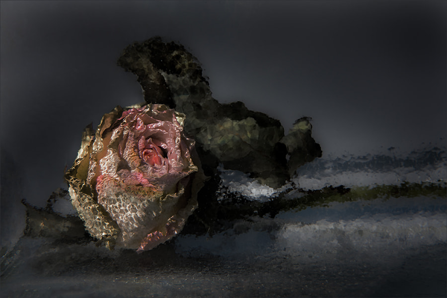 Photograph old rose... by Gilbert Claes on 500px