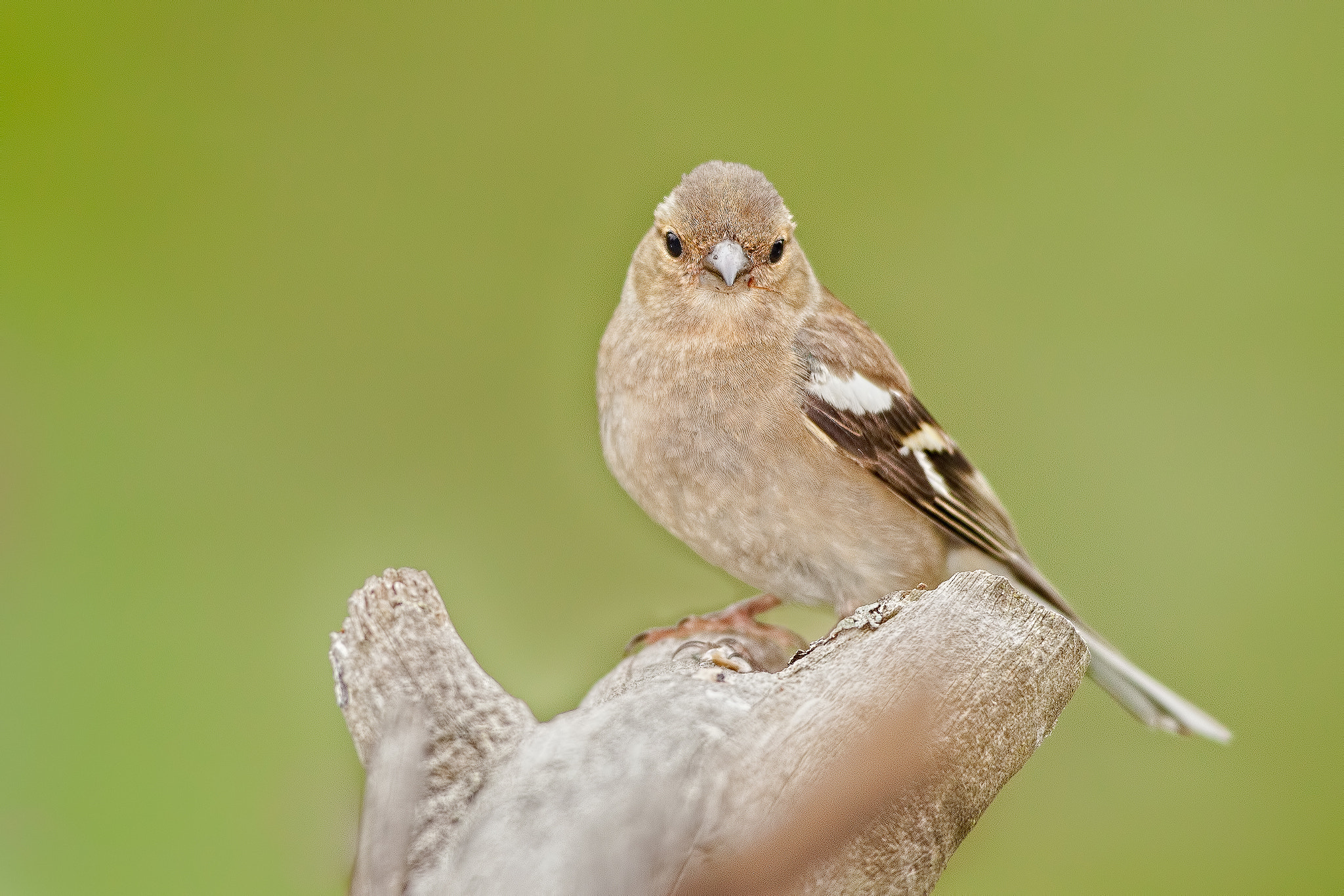 Photograph Female Common Chaffinch by Tobias Kuhl on 500px
