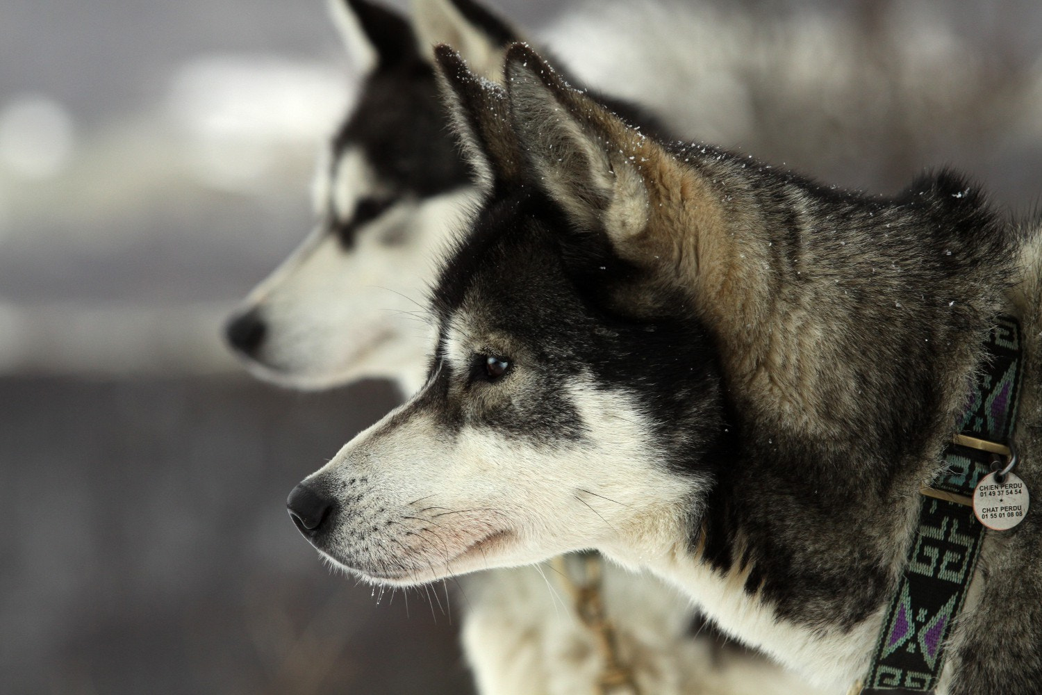 Photograph Huskies by Claire Rossiter on 500px