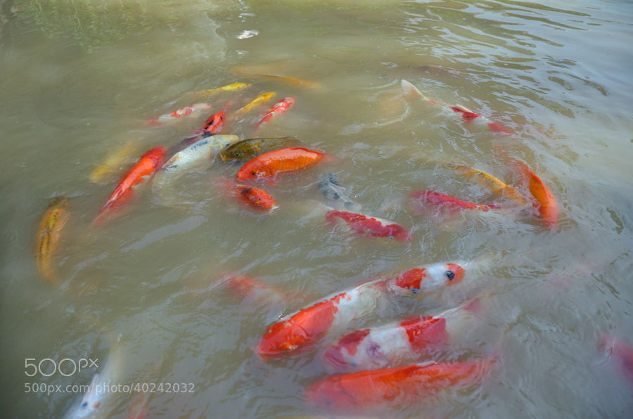 Photograph Koi by Khoo Boo Chuan on 500px