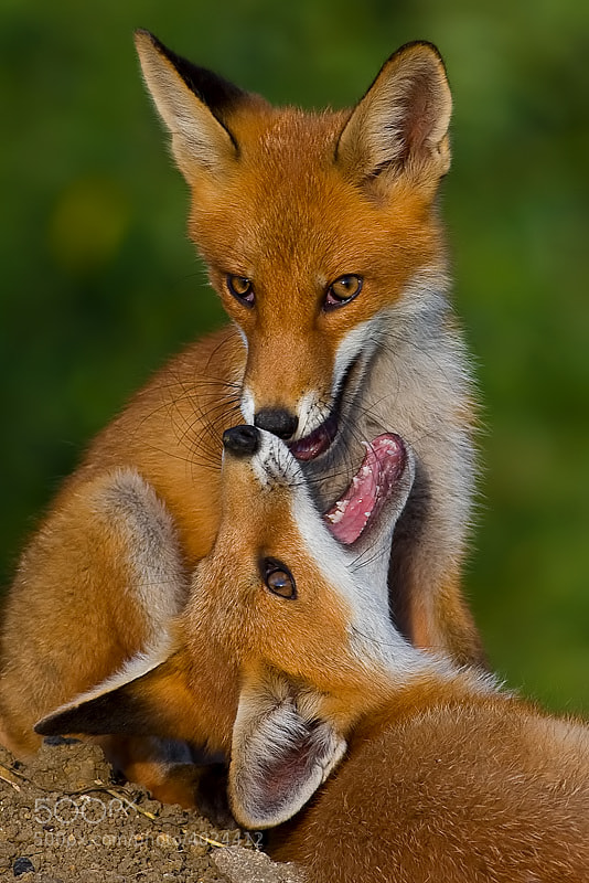 Photograph Fox by Ivan Godál on 500px