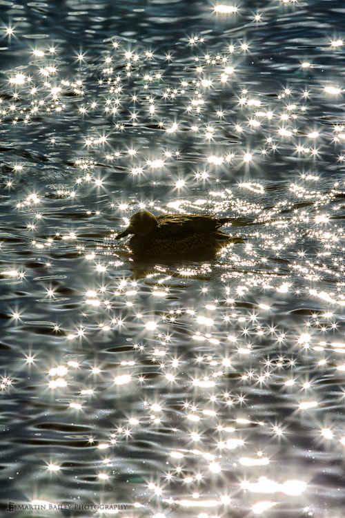 Photograph Pintail Star by Martin Bailey on 500px
