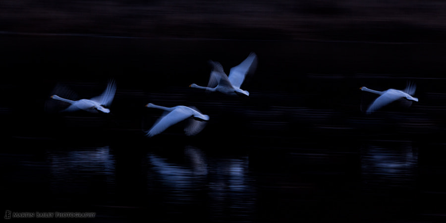 Photograph Evening Swans by Martin Bailey on 500px
