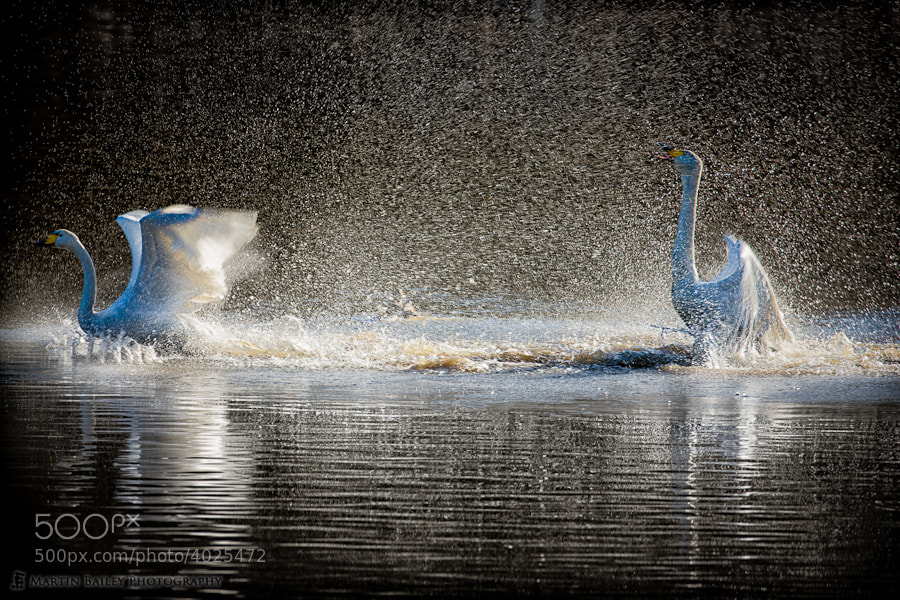 Photograph Swan's Shower by Martin Bailey on 500px