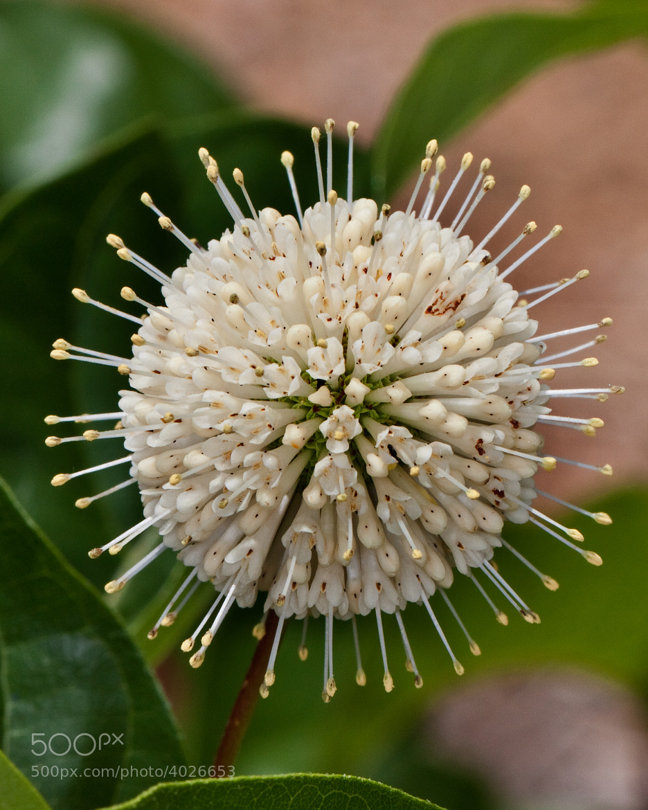 Photograph Buttonbush Blossom by John Mead on 500px