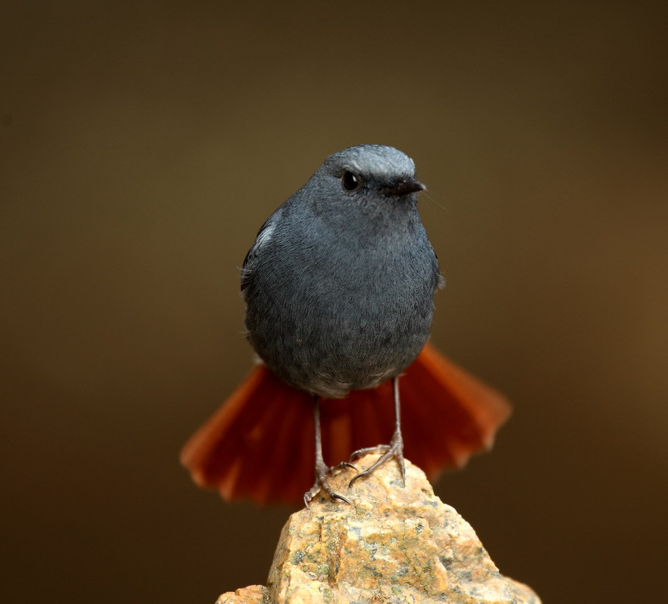 Photograph Plumbeous Water-Redstart  by Woody L. Chu on 500px