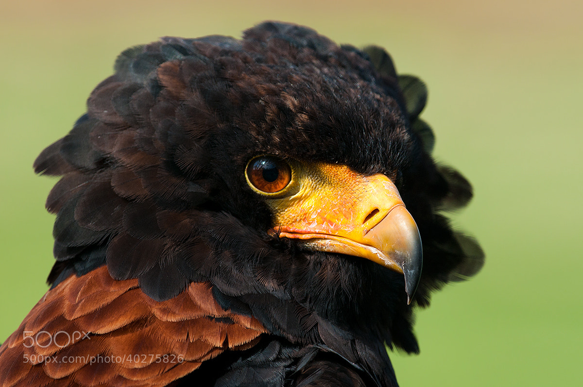 Photograph Bateleur Eagle by Rob Janné on 500px