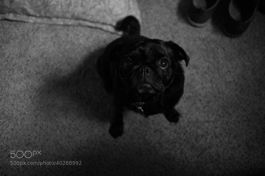 Pug by C.K. Sample III (cksample)) on 500px.com