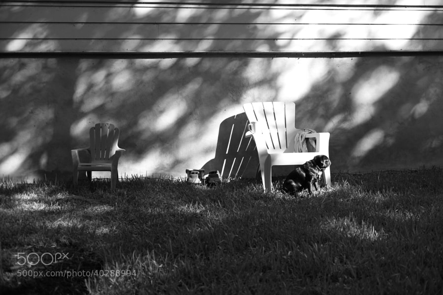 Pug and two chairs by C.K. Sample III (cksample)) on 500px.com