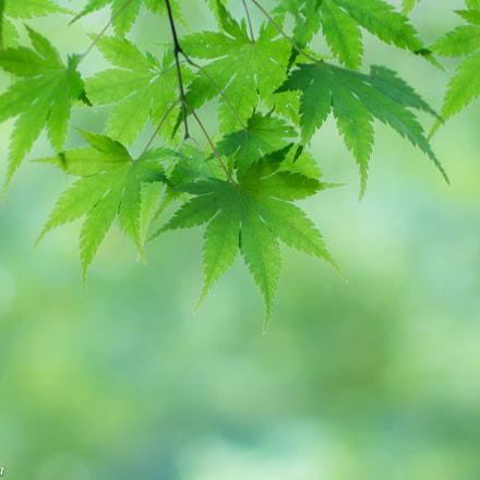 Summer green; ナツノミドリ