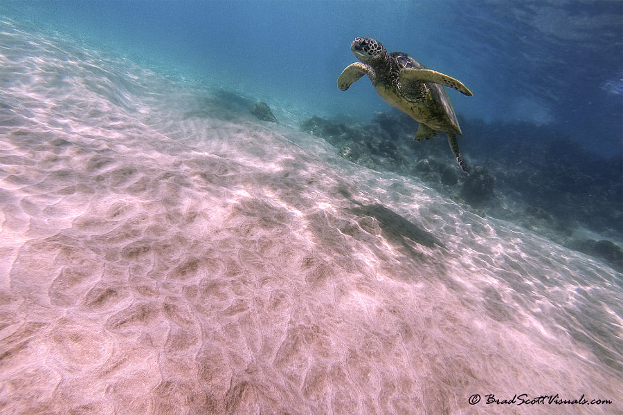 Hawaiian Green Sea Turtle at Prince Beach, Maui