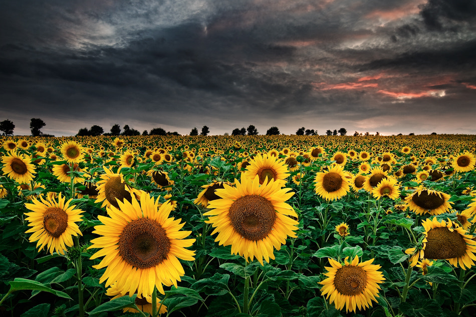 Photograph Sunflowers of the Storm by Michael  Breitung on 500px