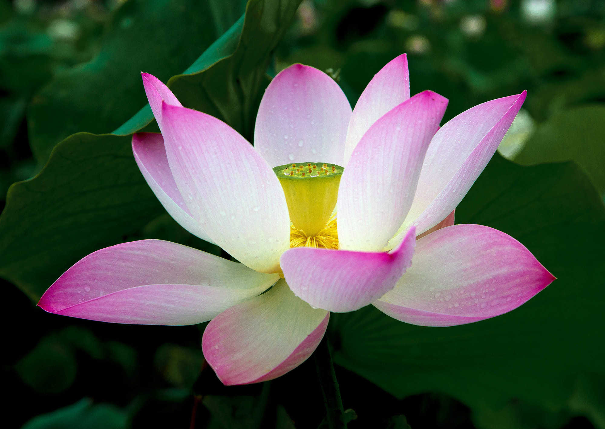 Photograph Lotus by Qi Zhi on 500px