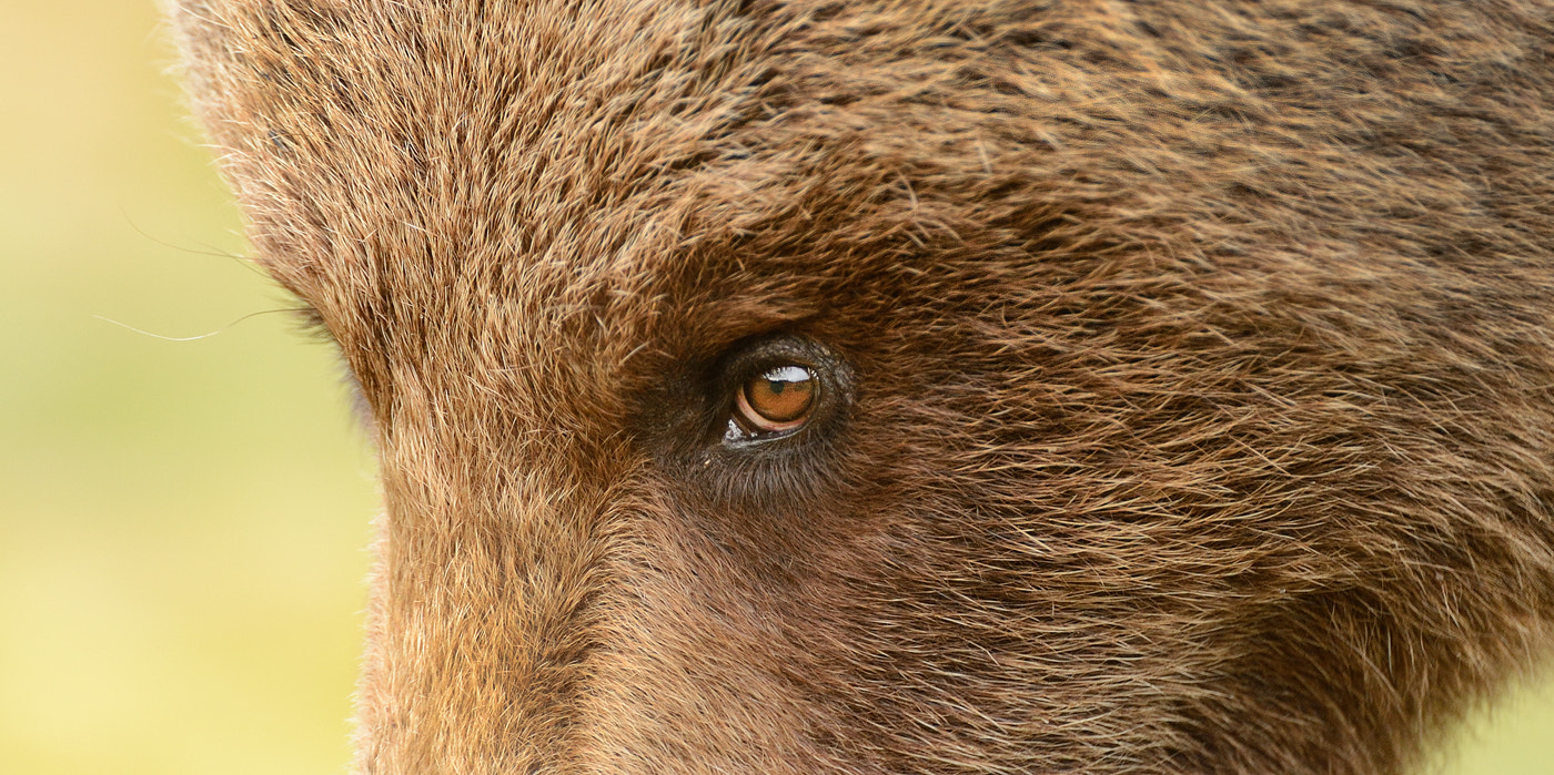 Photograph The Eye of the Bear by Harry  Eggens on 500px
