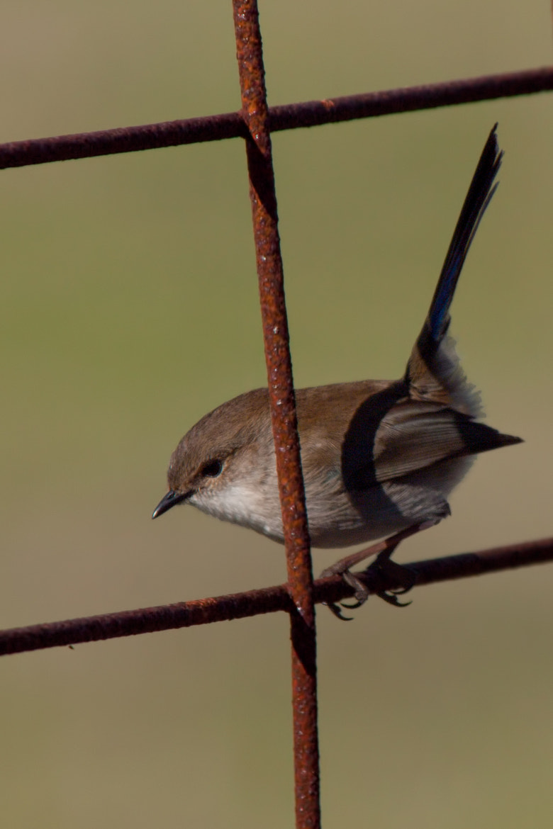 Photograph Wren on a Rusty Gate by John Sharp on 500px