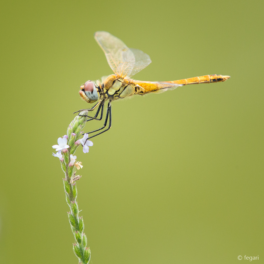 Photograph Dragonfly by fegari  . on 500px