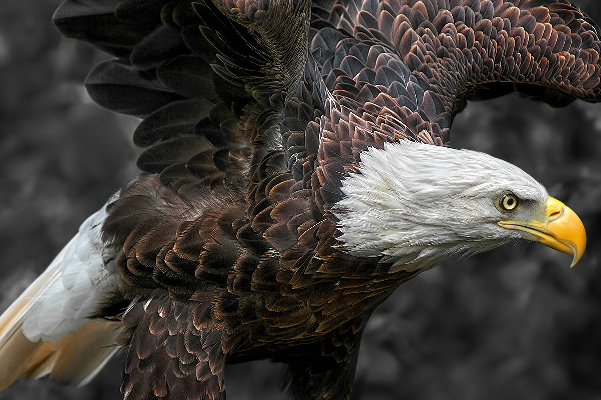 Photograph Bald eagle by Itoodmuk  on 500px