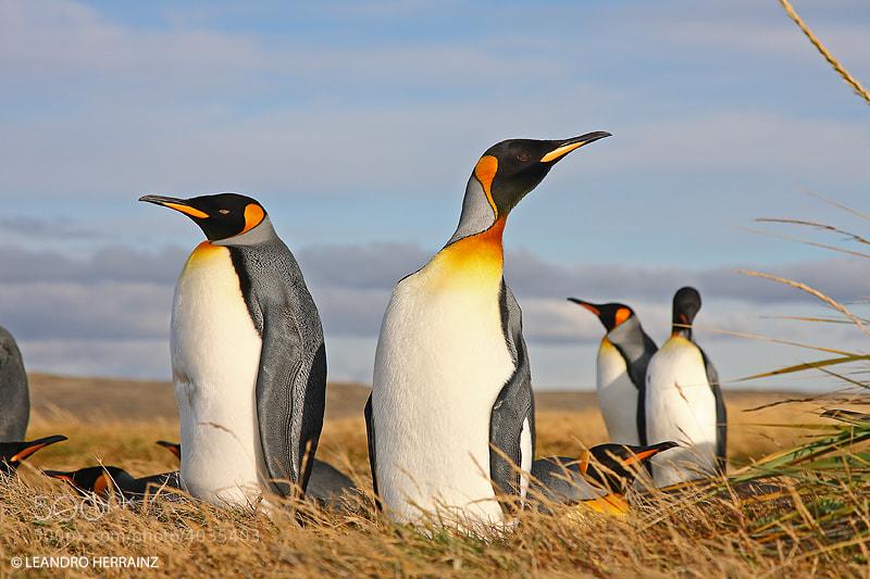 Photograph Pinguinos rey by Leandro Herrainz on 500px