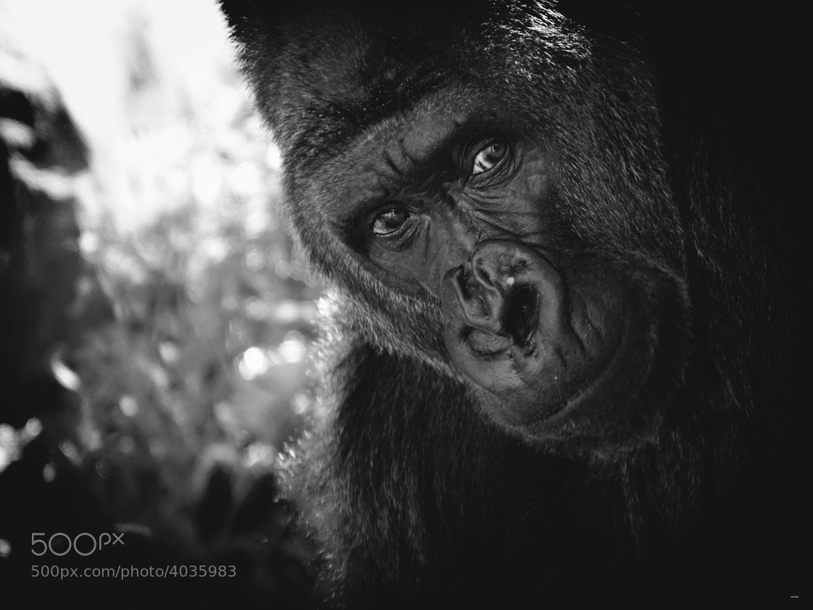 Photograph Cassius-Western Lowland Gorilla by Scott Engel on 500px
