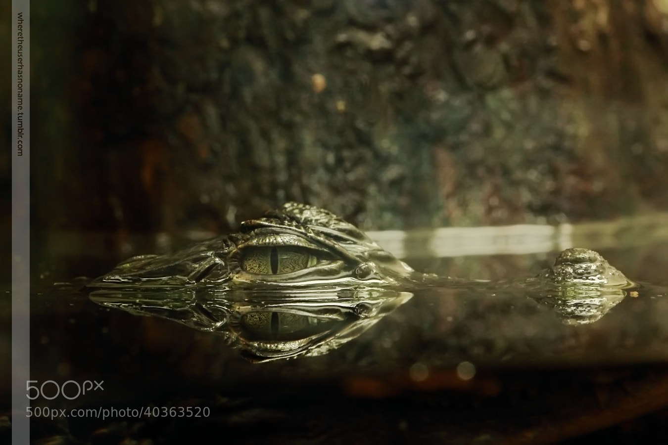 Photograph Common caiman in captivity by where the user has no names on 500px
