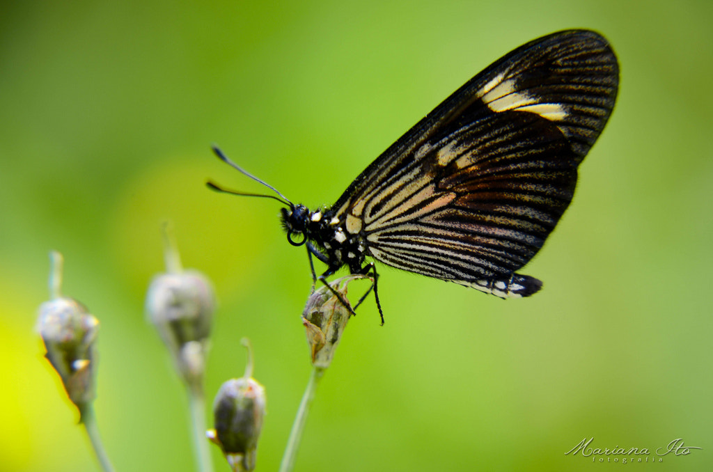Photograph Butterfly by Mariana Ito on 500px